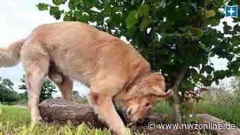 Verdacht in Cloppenburg: Wahrscheinlich vergifteter Hund eingeschläfert - Nordwest-Zeitung