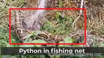 Python caught in fishing net in Odisha