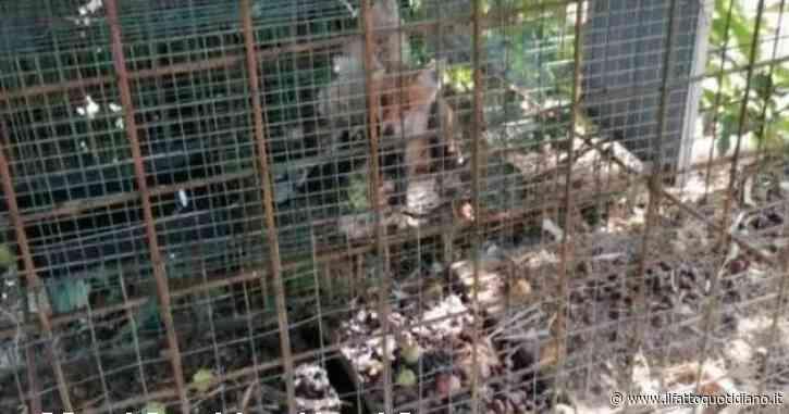 Cucciolo di volpe usato come esca e chiuso in gabbia per catturare la madre: muore di stenti