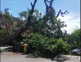 Aguacero derribó árbol sobre siete carros en El Torreón de Guarenas - El Pitazo