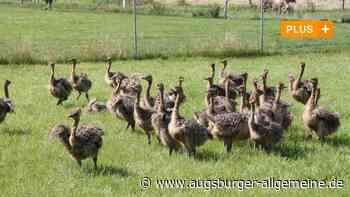 Auf der Straußenfarm in Memming gibt es Nachwuchs