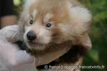 Val-de-Reuil : naissance de jumeaux pandas roux à Biotropica - France 3 Régions
