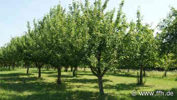 Gelbes Band: Apfelbäume in Bad Soden abernten - HIT RADIO FFH