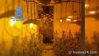 El fuerte olor a marihuana ayuda a la Policía a intervenir 712 plantas en una vivienda de la capital - Huelva24