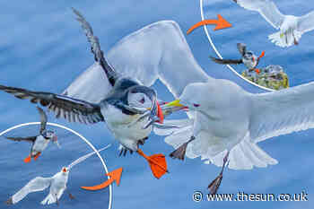 Moment yobbish seagull tries to steal puffin's food in mid-air duel... - The Sun