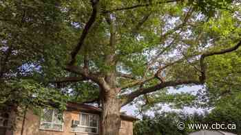 Toronto agreed to buy a home to save a 250-year-old tree. Now, the seller wants a higher price - CBC.ca