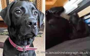 Meet Margot - East Lancashire's loudest snoring puppy?