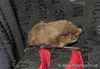 Sussex Wildlife Trust save bat that was trapped in kitchen