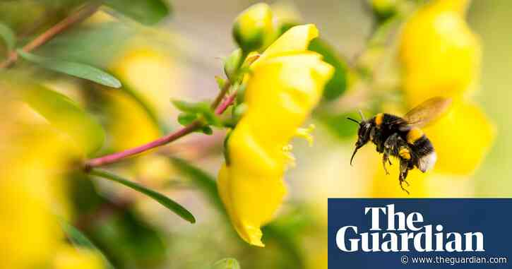 Caffeine may help bumblebees pollinate more effectively, study shows