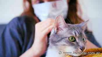 Los gatos son más propensos que los perros a contagiarse de coronavirus - La Capital (Rosario)