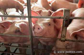 USDA to pay farmers who euthanized animals amid meat plant shutdowns - Politico