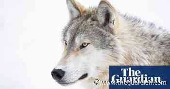 'An abomination': the story of the massacre that killed 216 wolves - The Guardian