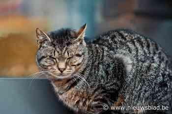"""Kat verdwijnt nadat ze onterecht wordt afgenomen, maar baasje """"moet niet doen alsof haar wereld is ingestort"""" - Het Nieuwsblad"""