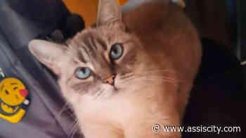 Tutor procura por gata desaparecida há mais de 5 dias em Assis - Assiscity