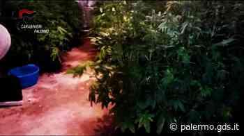Trabia, serra indoor con 200 piante di cannabis: arrestato 30enne di Bagheria - Giornale di Sicilia