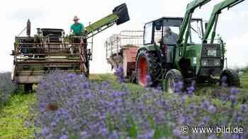 Provence mitten in Bayern - In Dorfen wird Lavendel angebaut - BILD