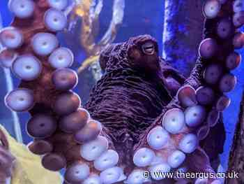 New giant octopus arrives at Hastings aquarium