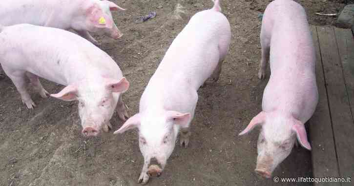 Un allevamento di maiali nel Pavese è ormai fatiscente: ne abbiamo chiesto la chiusura