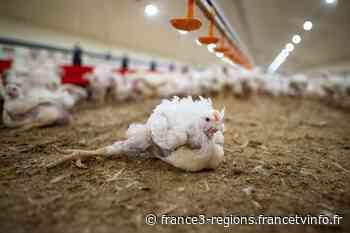 Torfou, près de Cholet : Julie Depardieu et L214 dénoncent la souffrance des poulets à croissance rapide du gr - France 3 Régions