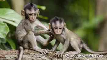 Gruesome! 30 monkeys stuffed in gunny bags, beaten to death in Karnataka