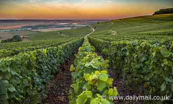 Champagne vines given room to grow as rule demanding distance between plants is scrapped