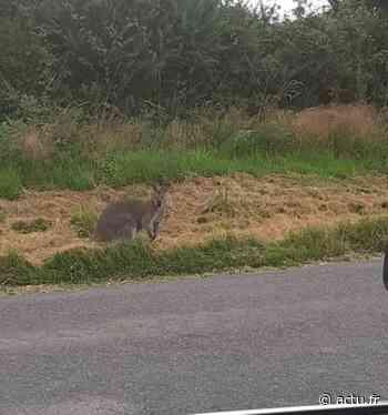VIDEO Loire-Atlantique : avez-vous vu passer ce wallaby près de Nozay ? - actu.fr