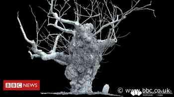 Disease killing 'Europe's oldest' elm tree