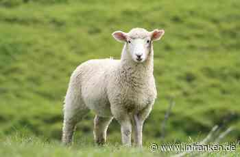 Kulmbach: Schaf mit schweren Bisswunden gefunden - Polizei appelliert an Hundebesitzer