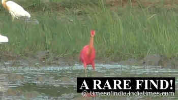 A bird to watch: Rare red-coloured cattle egret spotted in Odisha's Kendrapada