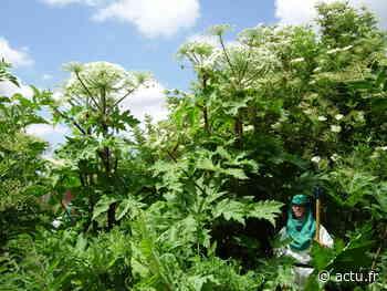 Honfleur : Pourquoi la Berce du Caucase, plante invasive et toxique, prolifère toujours - actu.fr