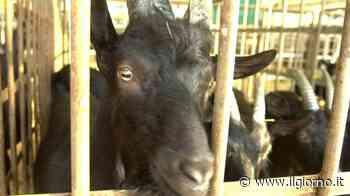 Rozzano, macella una capra nel cortile di casa: denunciato un sessantenne - IL GIORNO