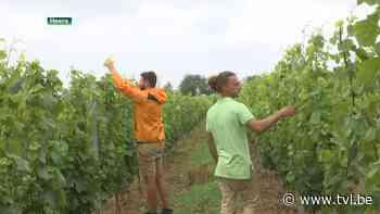 Workcation in wijngaard Marsnil in Heers - TV Limburg