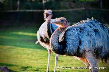 Police warning as emu or ostrich is seen running on A49
