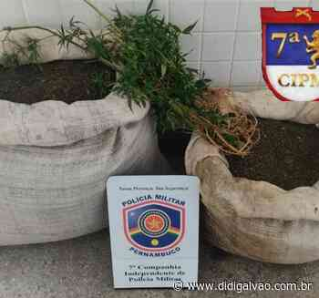 Polícia erradica plantação de maconha no Projeto Fulgêncio em Santa Maria da Boa Vista - Blog do Didi Galvão