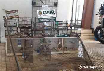Homem de Santa Maria da Feira capturava aves ilegais e promovia venda dos animais em sites - Sol