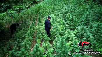 Contrasto alla droga nella Piana di Gioia Tauro: sequestrata una piantagione di canapa indiana e arrestato 24enne - Reggio TV