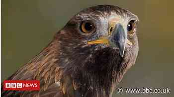 Missing Ringwood golden eagle blown away by strong winds
