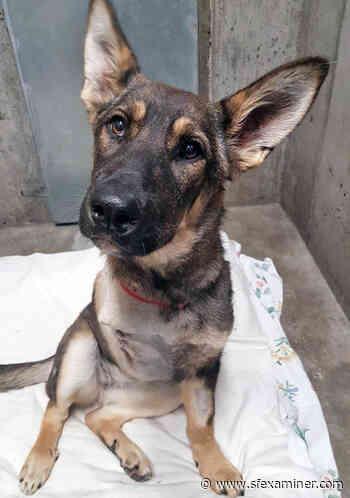 SPCA offering free adoptions for older animals, heavier dogs - San Francisco Examiner