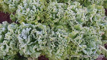 Geada não prejudica abastecimento de verduras e legumes em Assis - Assiscity - Notícias de Assis SP e região hoje