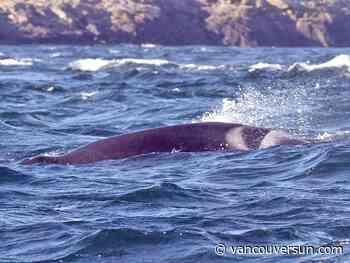 Researchers, whale watchers look for sick orca in Juan de Fuca Strait