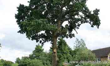 Anger over plans to chop down a 600-year-old tree... because it is damaging 20-year-old house