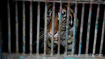 Sumatran tigers infected with coronavirus at Indonesian zoo - FRANCE 24