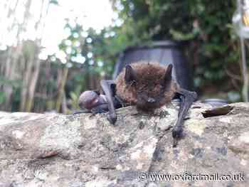 How to care for bats in your garden and help the Oxfordshire fauna