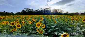 Campo de girasoles: un sueño amarillo que cautiva en San Carlos - La Nación Costa Rica