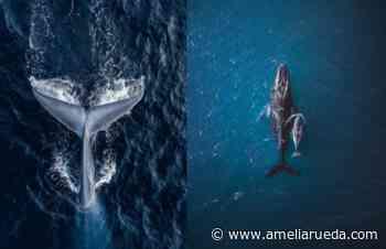 Visite el Pacífico de Costa Rica: ballenas recorrerán océano de Zona Sur hasta agosto - ameliarueda.com