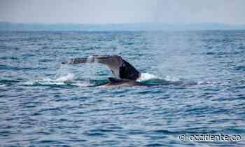 Así se prepara el Pacífico para la llegada de las ballenas - Diario Occidente