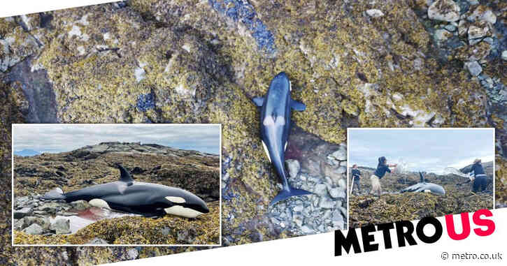 Orca stranded on rocks is saved after people threw water over it for hours