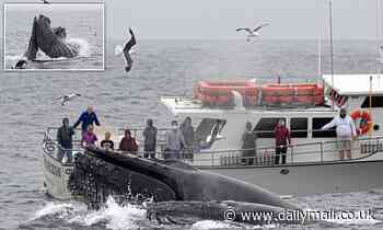 Moment whale-watchers are dwarfed by FOUR humpback whales