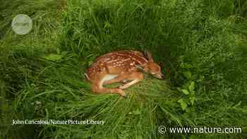 Coronavirus infection is rife in a common US deer species - Nature.com