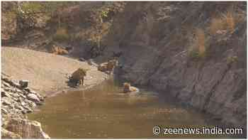 Watch: Tigers at Ranthambhore National Park enjoy their day in natural water pool